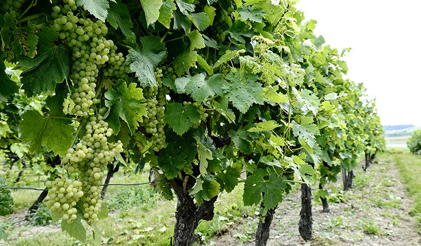 ヘネシーはコニャック地方の白ブドウで造られます。